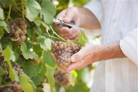 Wine Maker Cutting a Bunch of Grapes off the Vine Stock Photo - Premium Royalty-Free, Code: 600-03152991