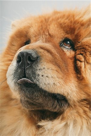 fluffy - Portrait of Dog Stock Photo - Premium Royalty-Free, Code: 600-03179187
