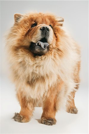 fluffy - Portrait of Dog Stock Photo - Premium Royalty-Free, Code: 600-03179180