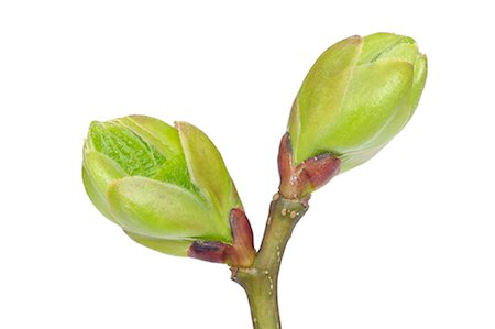 Tree Bud Stock Photo - Premium Royalty-Free, Code: 600-03171590