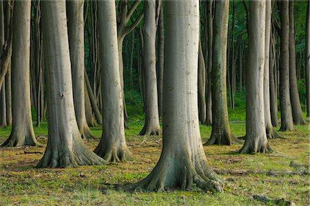 Beech Trees, Nienhagen, Bad Doberan, Western Pomerania, Mecklenburg-Vorpommern, Germany Stock Photo - Premium Royalty-Free, Code: 600-03194835
