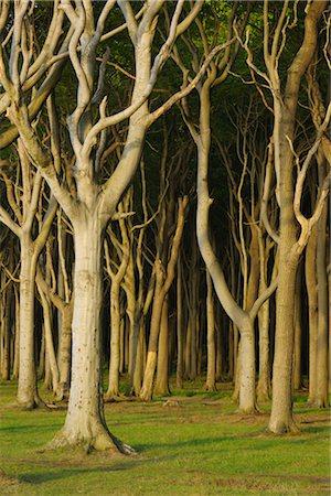 Beech Trees, Nienhagen, Bad Doberan, Western Pomerania, Mecklenburg-Vorpommern, Germany Stock Photo - Premium Royalty-Free, Code: 600-03194837