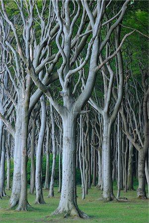 Beech Trees, Nienhagen, Bad Doberan, Western Pomerania, Mecklenburg-Vorpommern, Germany Stock Photo - Premium Royalty-Free, Code: 600-03194838