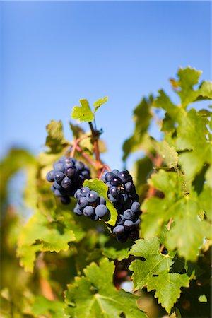 Close Up of Grapes at Vineyard, Pauillac, Gironde, Aquitane, France Stock Photo - Premium Royalty-Free, Code: 600-03210639