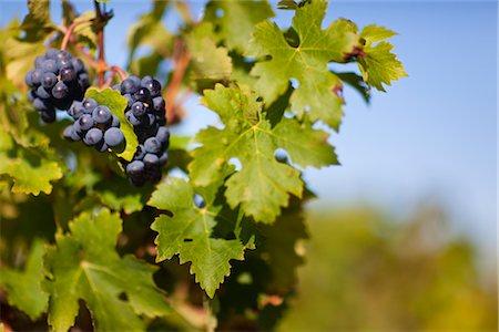Close Up of Grapes at Vineyard, Pauillac, Gironde, Aquitane, France Stock Photo - Premium Royalty-Free, Code: 600-03210640
