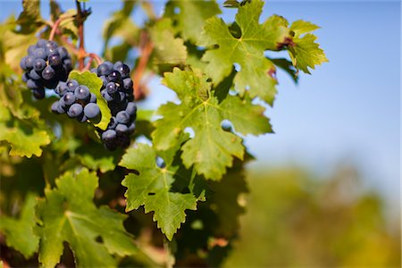 Close Up of Grapes at Vineyard, Pauillac, Gironde, Aquitane, France Stock Photo - Premium Royalty-Free, Code: 600-03210640