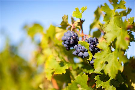 Close Up of Grapes at Vineyard, Pauillac, Gironde, Aquitane, France Stock Photo - Premium Royalty-Free, Code: 600-03210641