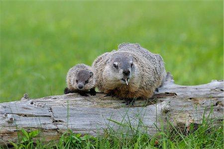 Groundhog with Young, Minnesota, USA Stock Photo - Premium Royalty-Free, Code: 600-03229260