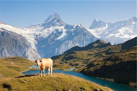 Alpine Cow in Front of Wetterhorn, Schreckhorn, and Finsteraarhorn at Lake Bachalp, Grindelwald, Bernese Alps, Bern, Switzerland Stock Photo - Premium Royalty-Free, Code: 600-03229879