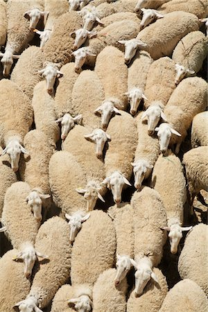Merino Sheep Stock Photo - Premium Royalty-Free, Code: 600-03244429
