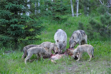 predator - Timber Wolf Family Feeding on Prey, Minnesota, USA Stock Photo - Premium Royalty-Free, Code: 600-03333556
