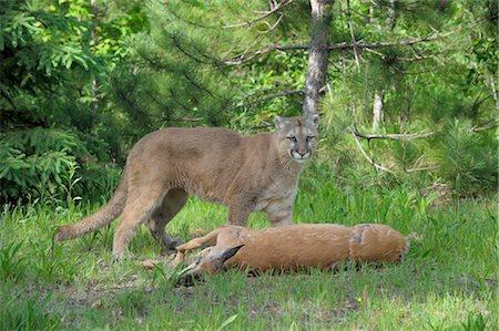 deer hunt - Mountain Lion with Prey, Minnesota, USA Stock Photo - Premium Royalty-Free, Code: 600-03333551