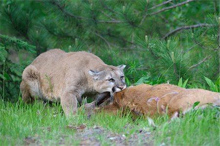 deer hunt - Mountain Lion with Prey, Minnesota, USA Stock Photo - Premium Royalty-Free, Code: 600-03333552