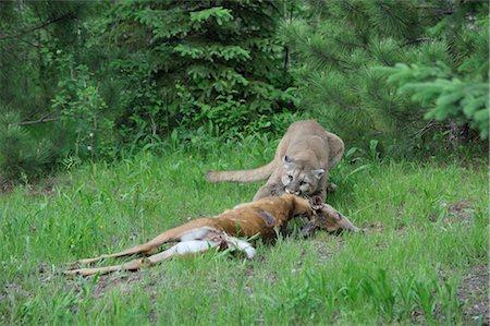 deer hunt - Mountain Lion with Prey, Minnesota, USA Stock Photo - Premium Royalty-Free, Code: 600-03333553