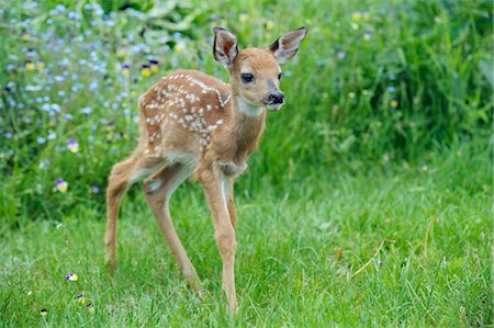 polka dot - Young White Tailed Deer, Minnesota, USA Stock Photo - Premium Royalty-Free, Code: 600-03333568