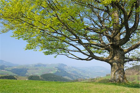 earth no people - Beech tree in Spring, Mostviertel, Lower Austria, Austria Stock Photo - Premium Royalty-Free, Code: 600-03361634