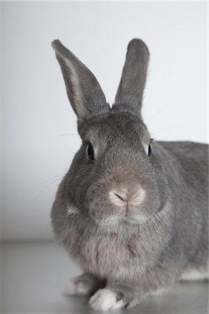 Rabbit in Studio Stock Photo - Premium Royalty-Free, Code: 600-03405634