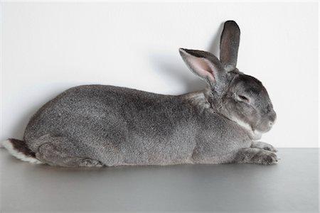 Rabbit Sleeping in Studio Stock Photo - Premium Royalty-Free, Code: 600-03405635