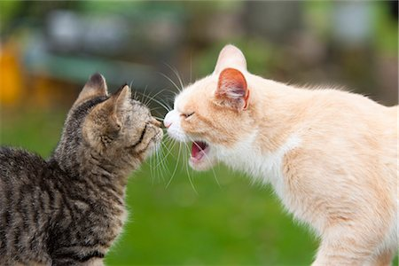 Portrait of Cats Stock Photo - Premium Royalty-Free, Code: 600-03407412