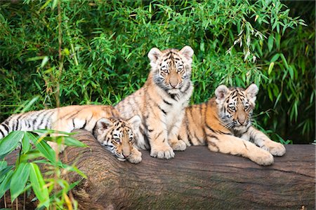 endangered animal - Portrait of Siberian Tiger Cubs Stock Photo - Premium Royalty-Free, Code: 600-03407425
