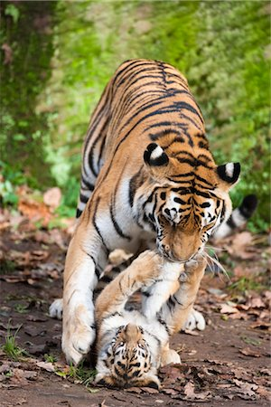 endangered animal - Siberian Tigers Stock Photo - Premium Royalty-Free, Code: 600-03407430