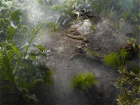 Burmese Python in the Jungle Stock Photo - Premium Royalty-Free, Code: 600-03439617