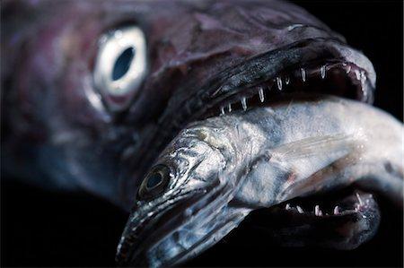 predator - Big Fish Eating Smaller Fish Stock Photo - Premium Royalty-Free, Code: 600-03446127
