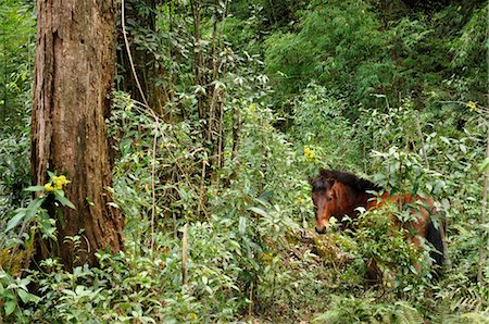 Wild Horse in Rainforest, Fansipan, Hoang Lien Mountains, Vietnam Stock Photo - Premium Royalty-Free, Code: 600-03450848