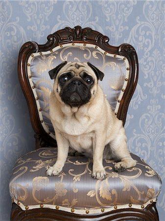 pvg - Portrait of Pug Stock Photo - Premium Royalty-Free, Code: 600-03466568