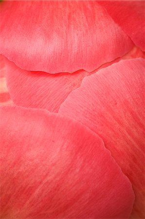 peony backgrounds - Close-up of Petals of Peony Stock Photo - Premium Royalty-Free, Code: 600-03466561