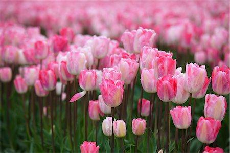 spring flowers - Tulip Farm, Skagit Valley, Washington, USA Stock Photo - Premium Royalty-Free, Code: 600-03484617
