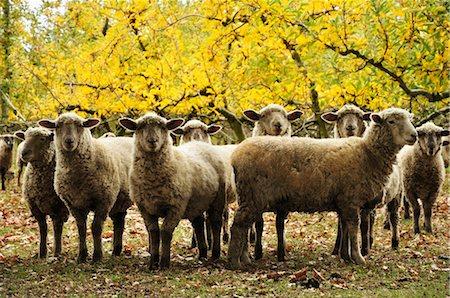domestic sheep - Domestic Sheep, Hawke's Bay, North Island, New Zealand Stock Photo - Premium Royalty-Free, Code: 600-03508325