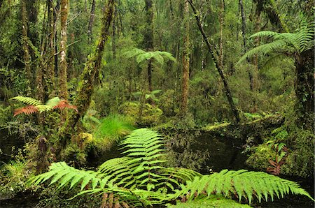Swamp Forest, Ship Creek, West Coast, South Island, New Zealand Stock Photo - Premium Royalty-Free, Code: 600-03508362