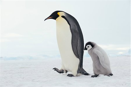 Emperor Penguin Adult and Chick, Snow Hill Island, Antarctic Peninsula Stock Photo - Premium Royalty-Free, Code: 600-03503057
