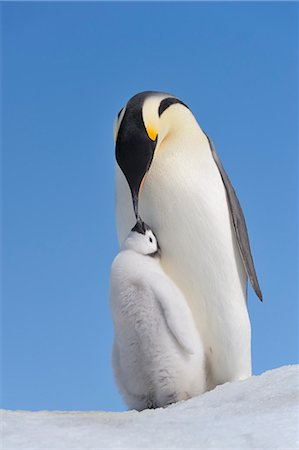 Emperor Penguin Adult and Chick, Snow Hill Island, Antarctic Peninsula Stock Photo - Premium Royalty-Free, Code: 600-03503062