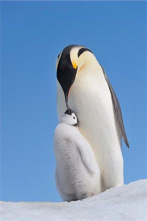 Emperor Penguin Adult and Chick, Snow Hill Island, Antarctic Peninsula Stock Photo - Premium Royalty-Free, Code: 600-03503062