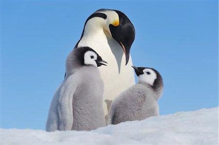 Emperor Penguin Adult and Chicks, Snow Hill Island, Antarctic Peninsula Stock Photo - Premium Royalty-Free, Code: 600-03503063