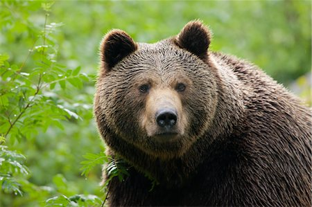 Brown Bear, Bavarian Forest National Park, Bavaria, Germany Stock Photo - Premium Royalty-Free, Code: 600-03567794