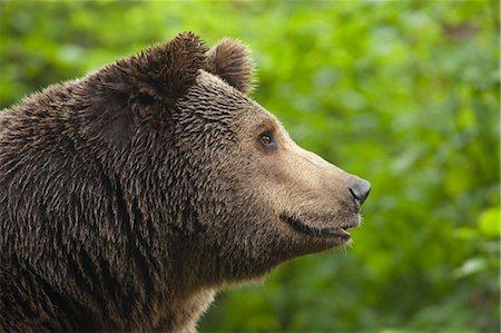 Brown Bear, Bavarian Forest National Park, Bavaria, Germany Stock Photo - Premium Royalty-Free, Code: 600-03567812