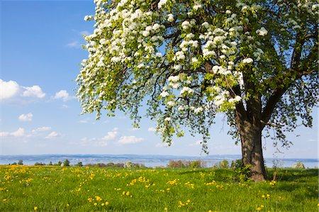 single fruits tree - Blooming Pear Tree in Field of Dandelions, Langrickenbach, Kreuzlingen, Thurgau, Switzerland Stock Photo - Premium Royalty-Free, Code: 600-03573842