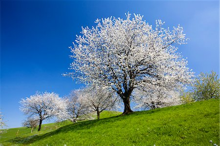 Cherry Trees in Pasture, Switzerland Stock Photo - Premium Royalty-Free, Code: 600-03573851