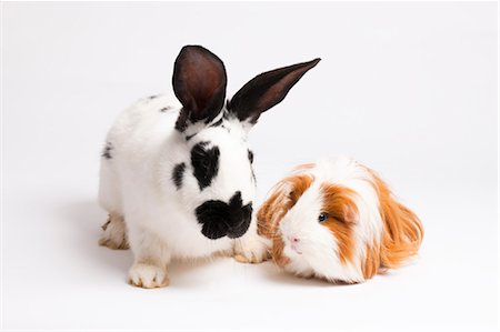 English Spot Rabbit and Long Haired Guinea Pig Stock Photo - Premium Royalty-Free, Code: 600-03573931
