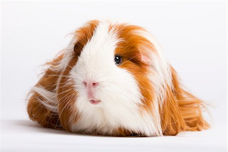 Portrait of Long Haired Guinea Pig Stock Photo - Premium Royalty-Free, Code: 600-03573932