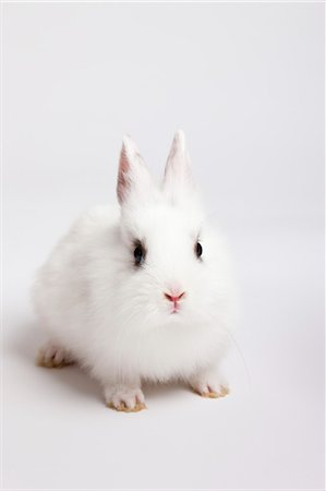 fluffed - Portrait of Dwarf Rabbit Stock Photo - Premium Royalty-Free, Code: 600-03586394