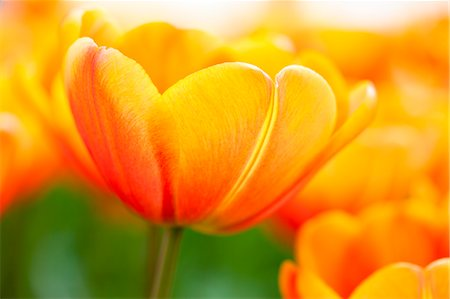 petal - Close-up of Tulips Stock Photo - Premium Royalty-Free, Code: 600-03586393