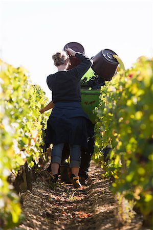 farmhand (female) - Grape Harvest, Chateau Lynch-Bages, Pauillac, Bordeaux, Gironde, Aquitaine, France Stock Photo - Premium Royalty-Free, Code: 600-03615435