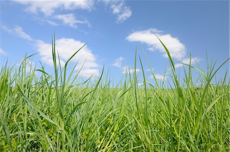 Close-up of Grass in Front of Blue Sky, Bavaria, Germany Stock Photo - Premium Royalty-Free, Code: 600-03644565