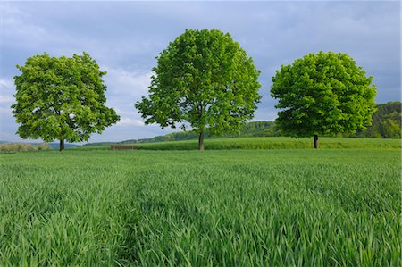 Maple Trees in Cornfield in the Spring, Grosswallstadt, Miltenberg, Franken, Bavaria, Germany Stock Photo - Premium Royalty-Free, Code: 600-03644572