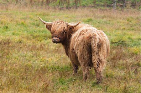 Highland Cattle Stock Photo - Premium Royalty-Free, Code: 600-03659197