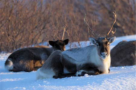reindeer in snow - Reindeer, Kvaloy, Sandvika, Troms, Norway Stock Photo - Premium Royalty-Free, Code: 600-03665471